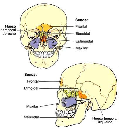 Sólo los senos maxilares forman parte de la estructura de los huesos ...